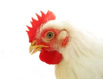http://www.dreamstime.com/royalty-free-stock-images-white-chicken-image10409889
